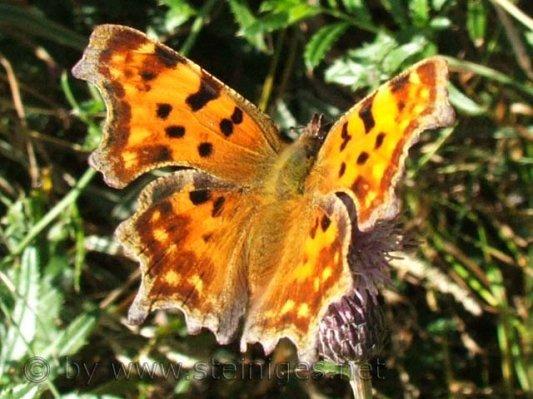 Leptiri - Page 3 Schmetterling%20-%20C%20Falter